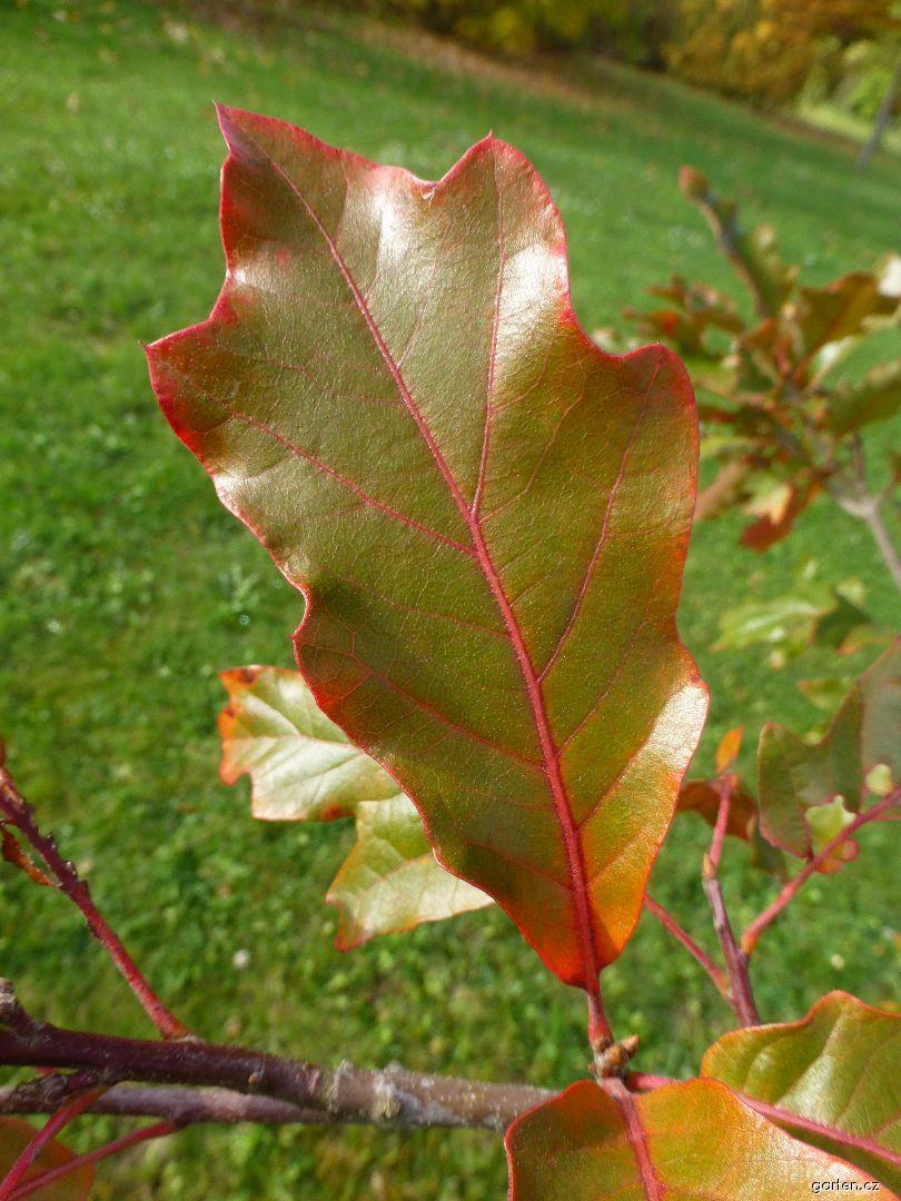 Dub - list (Quercus x tridentata)