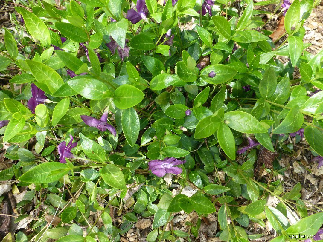Barvínek menší Atropurpurea (Vinca minor)