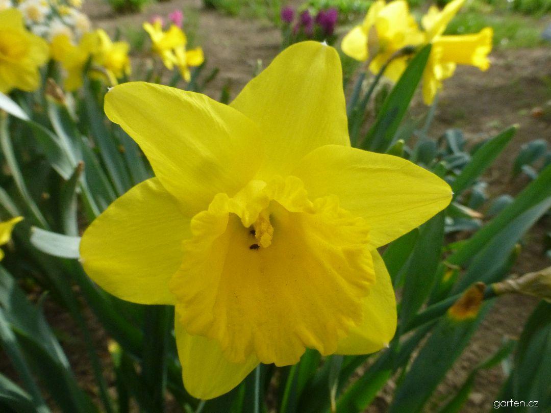 Narcis Arkle (Narcissus x hybridus)