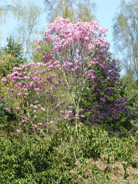 Šácholan Big Dude - habitus v květu (Magnolia hybrida)