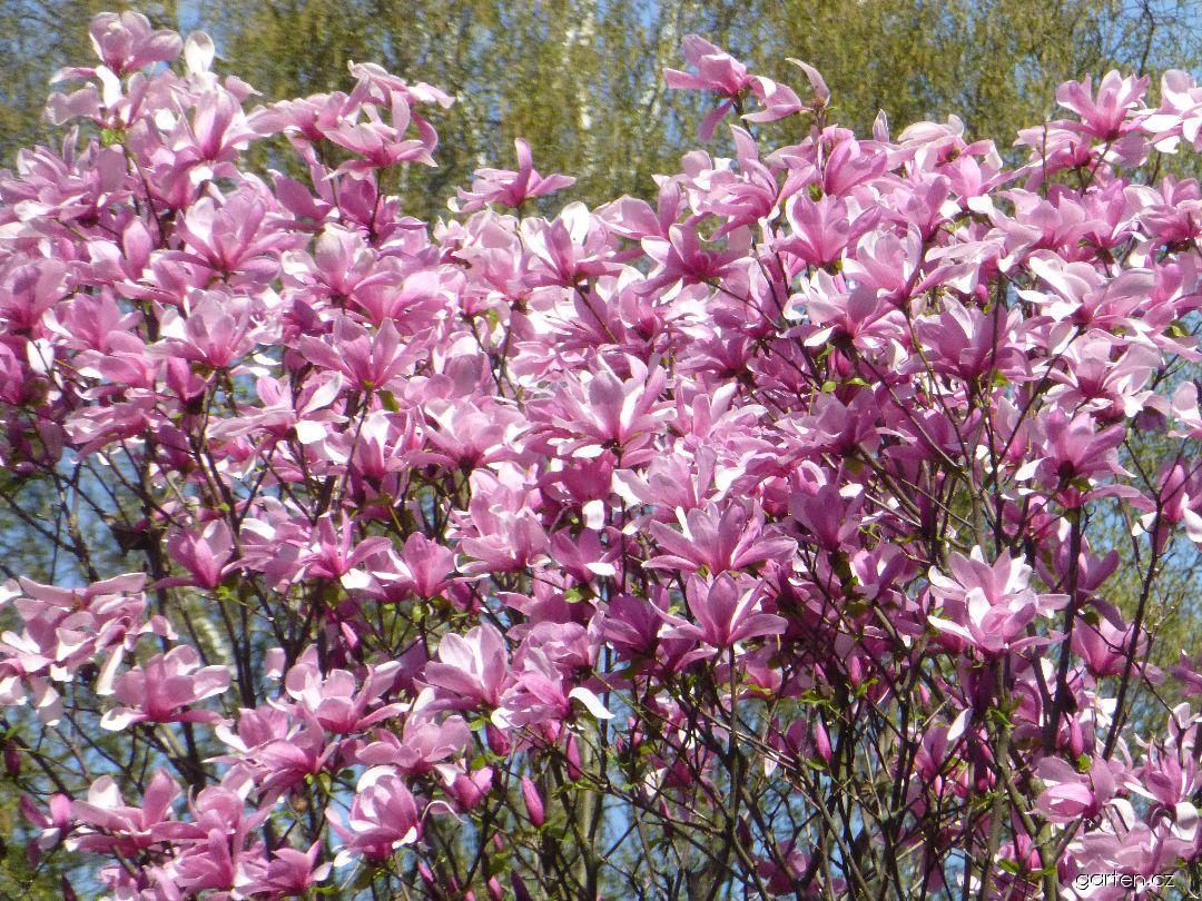 Šácholan Big Dude - větve s květy (Magnolia hybrida)