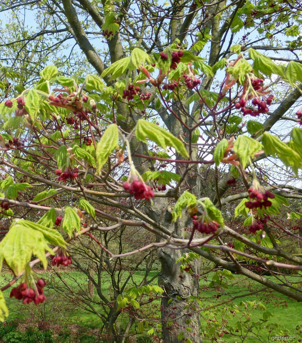 Javor japonský Vitifolium - v květu (Acer japonicum)