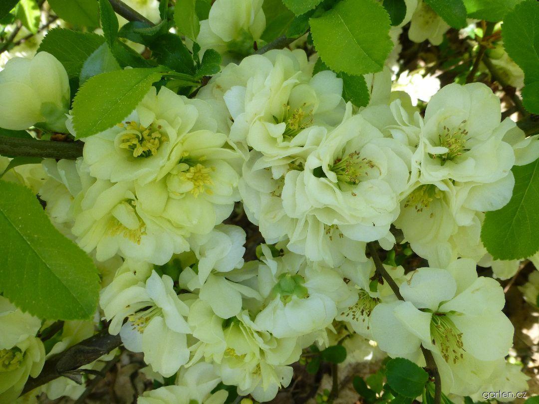 Kdoulovec lahvicovitý Yukigoten - větévky s květy (Chaenomeles speciosa)