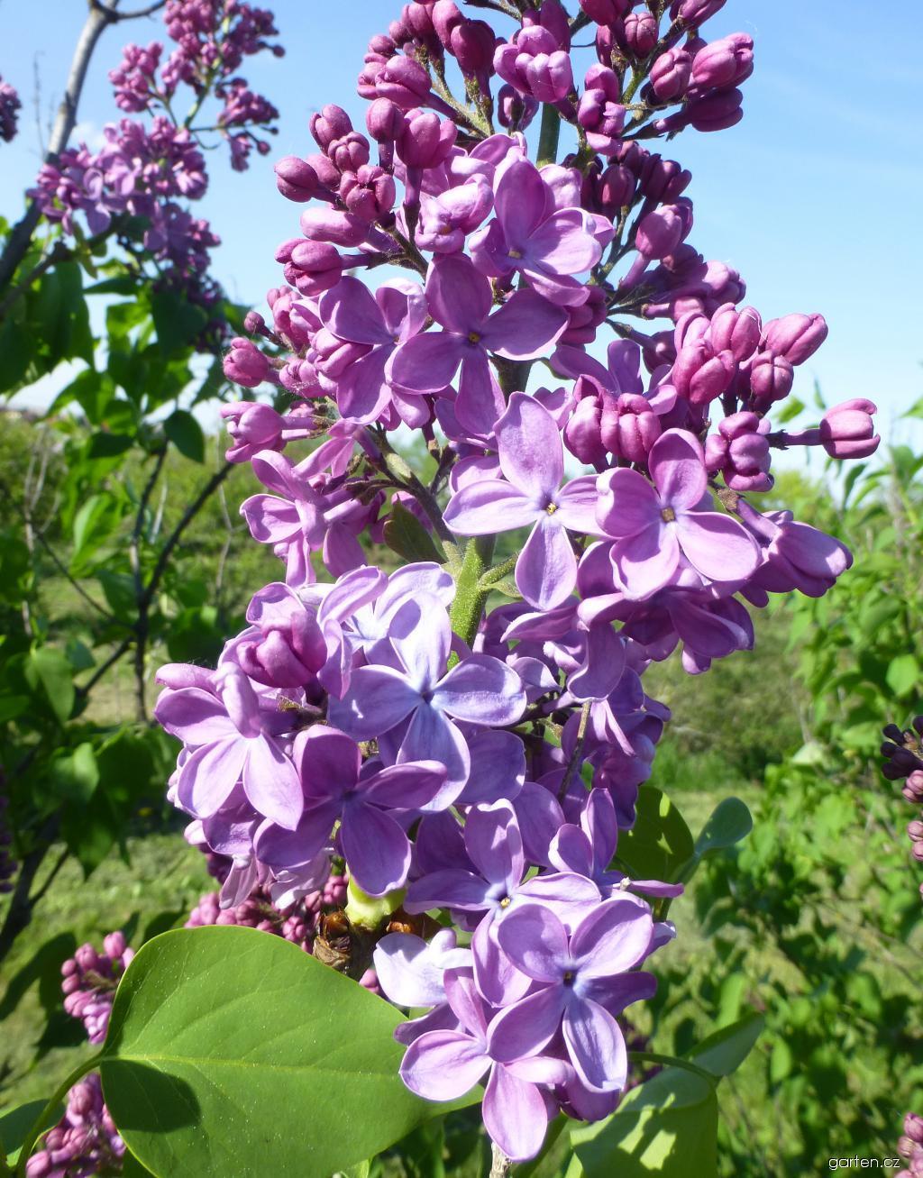 Šeřík hyacintokvětý Pink Spray (Syringa x hyacinthiflora)