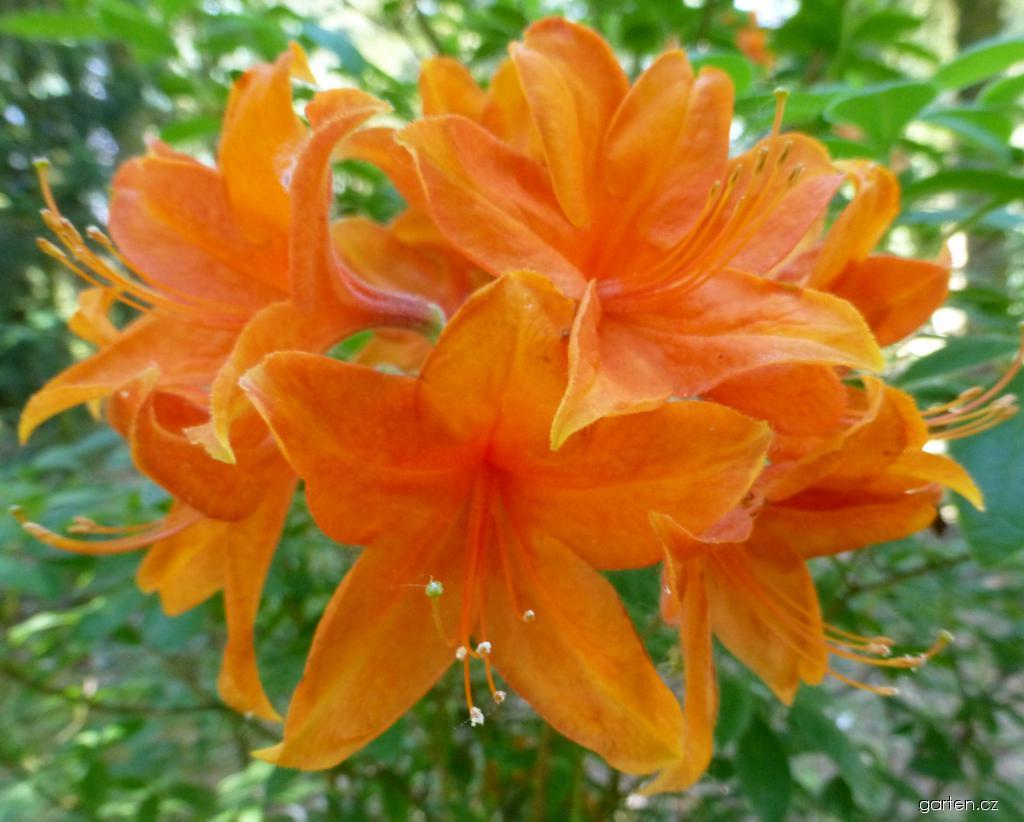 Azalka dřevitá Gold Dust (Rhododendron)