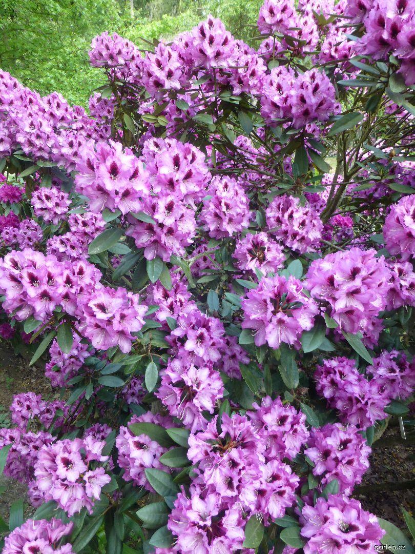 Pěnišník Kokardia (Rhododendron)