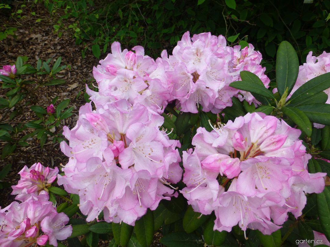 Pěnišník výborný Seestadt Bremerhaven (Rhododendron insigne)