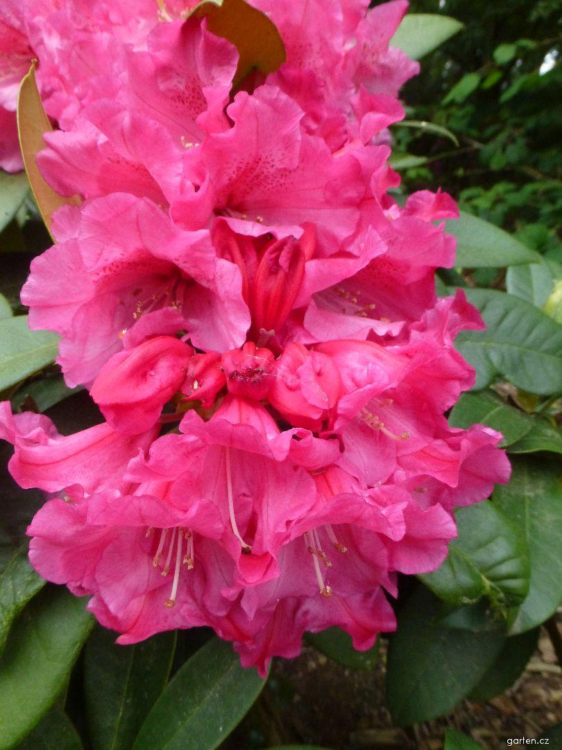 Pěnišník výborný Rosarka (Rhododendron insigne)
