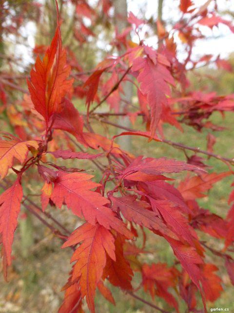 Javor dlanitolistý Sessilifolium - podzimní zbarvení (Acer palmatum)