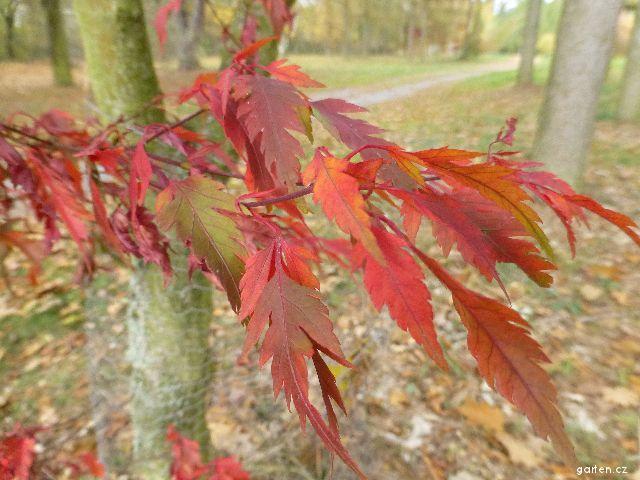 Javor dlanitolistý Sessilifolium - podzimní listy (Acer palmatum)