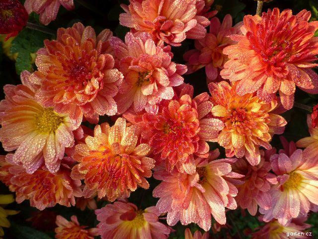 Listopadka zahradní Jitka bronzová (Chrysanthemum x grandiflorum)