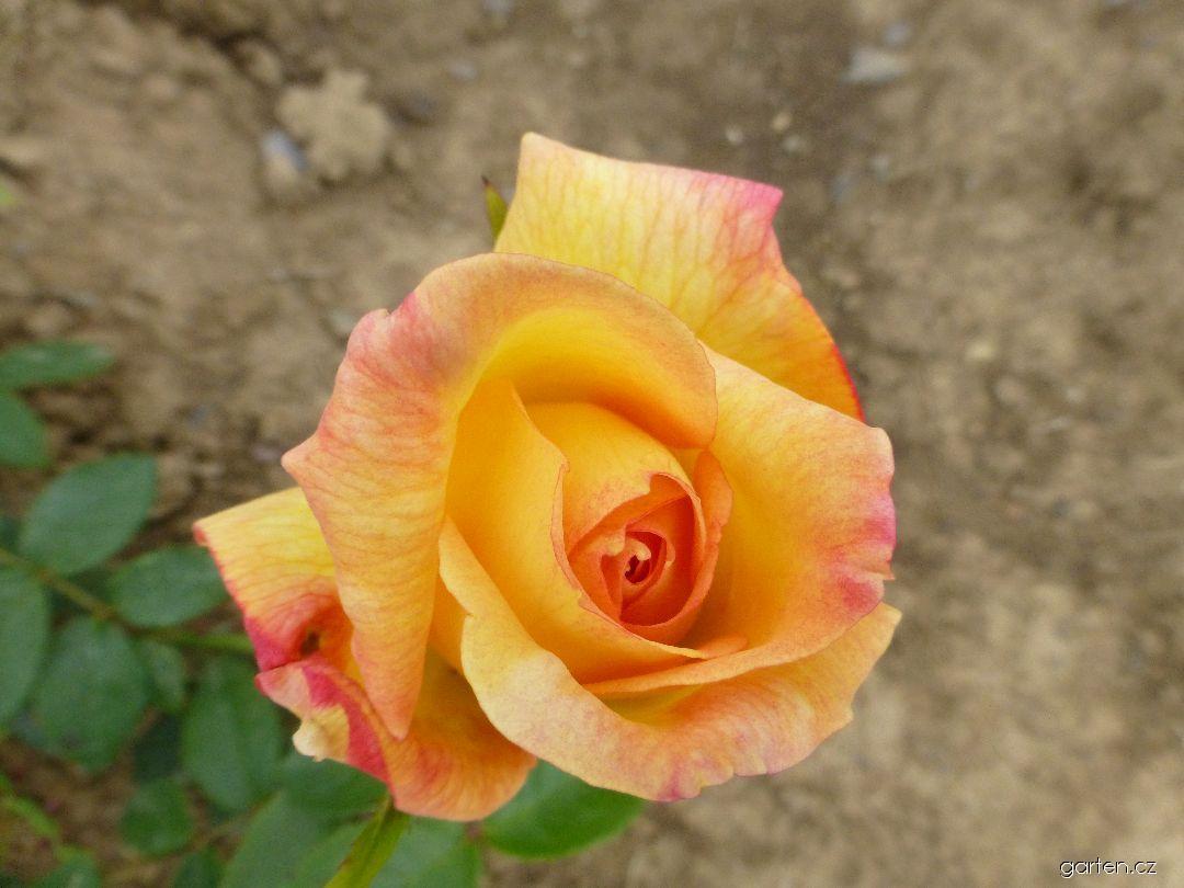 Růže Amatsu Otome (Rosa)