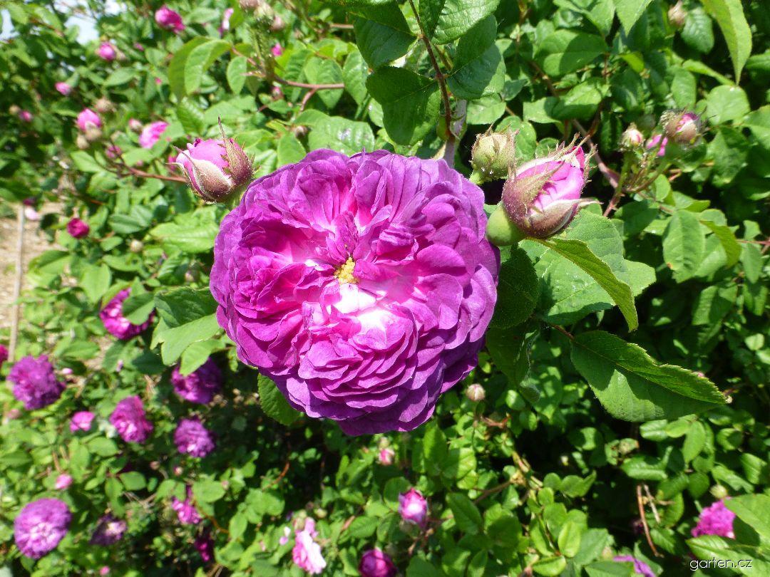 Růže galská Cardinal de Richelieu (Rosa gallica)