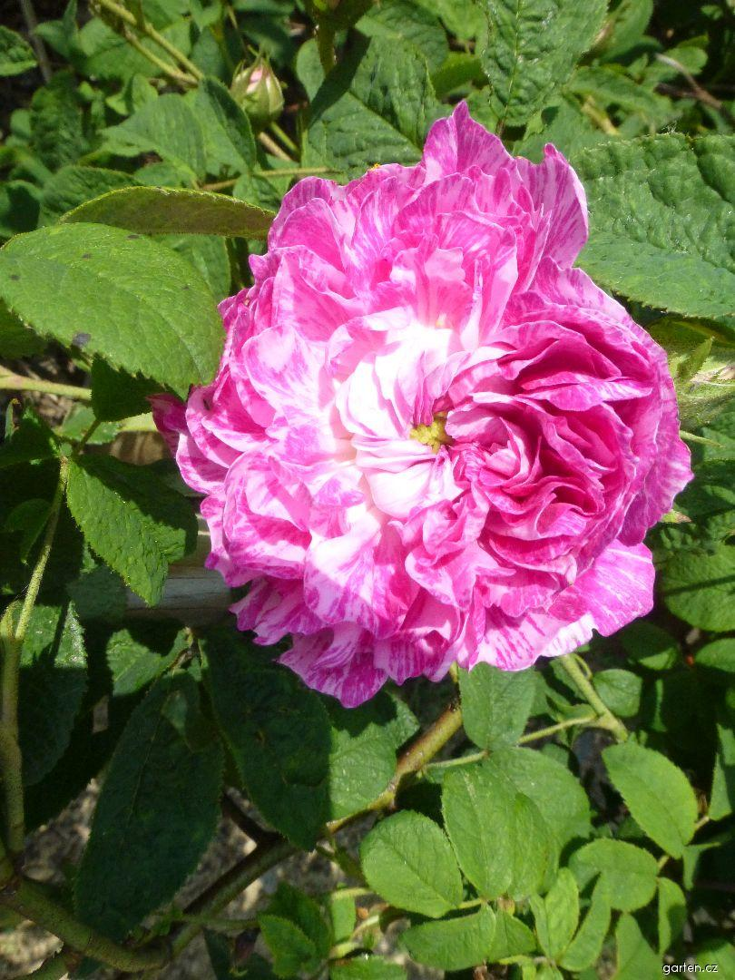 Růže galská Camaieux (Rosa gallica)