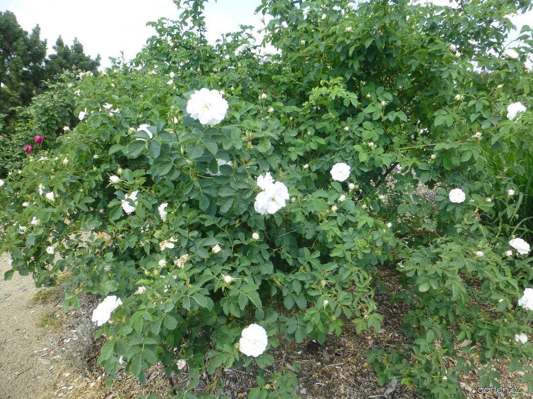 Růže Alba Semiplena (Rosa x alba)
