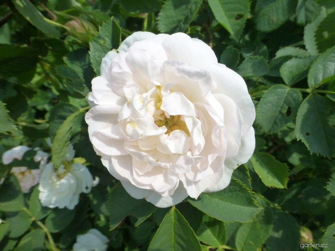 Růže Alba Semiplena - list (Rosa x alba)