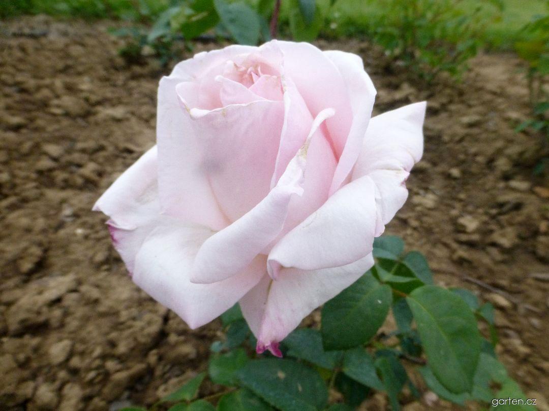 Růže Čajka (Rosa)