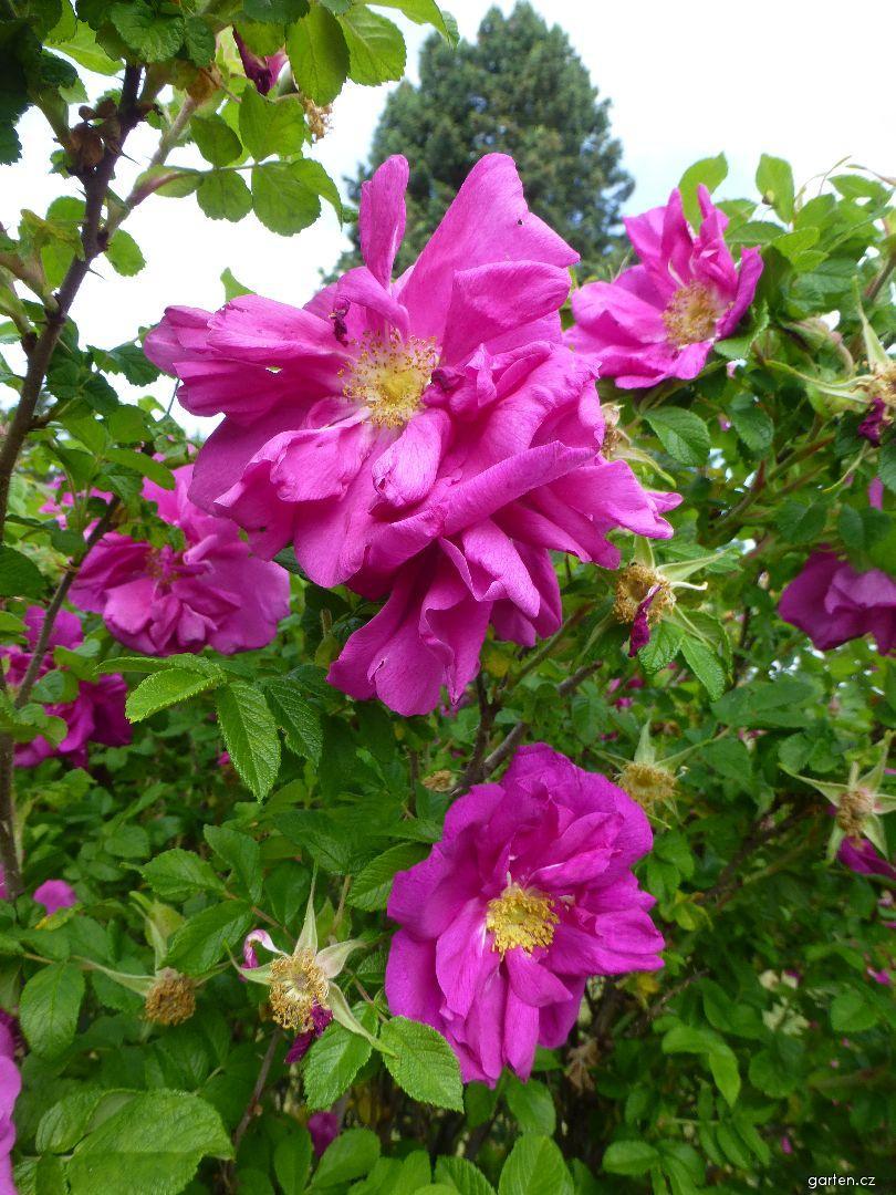 Růže Roseraie de L Hay (Rosa)