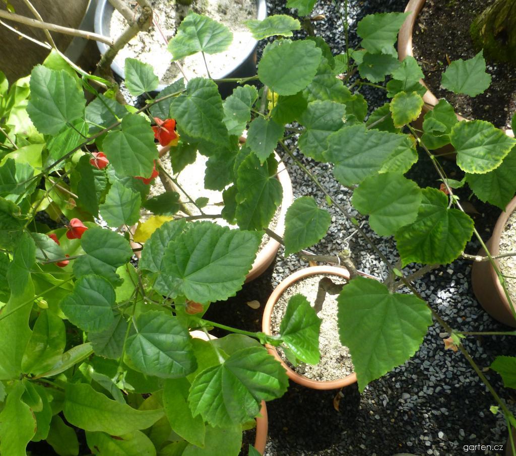 Mračňák poříční (Abutilon megapotamicum)