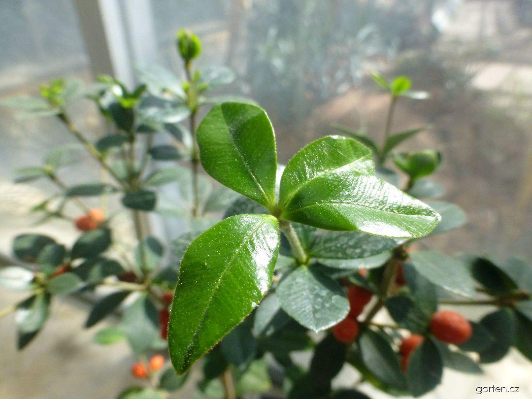 Alyxie (Alyxia ruscifolia)
