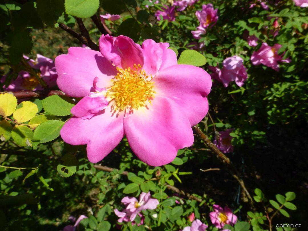 Růže Marguerite Hilling (Rosa)