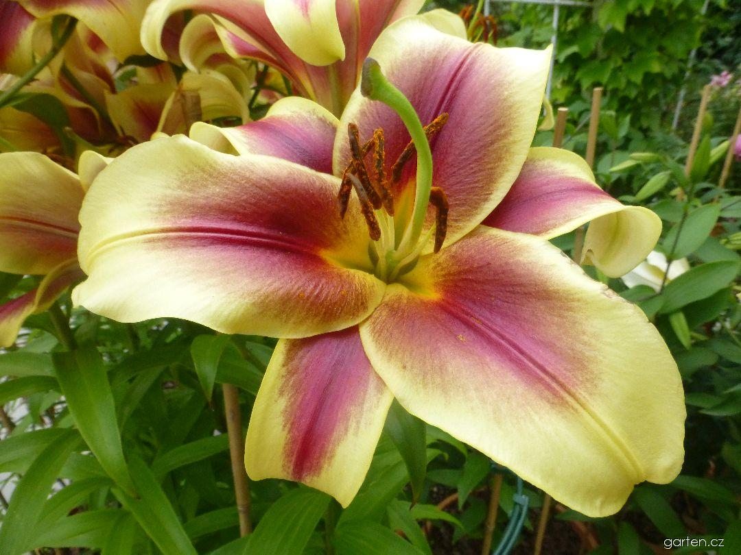 Lilie Flavia - Orientální hybridy (Lilium x hybridum)