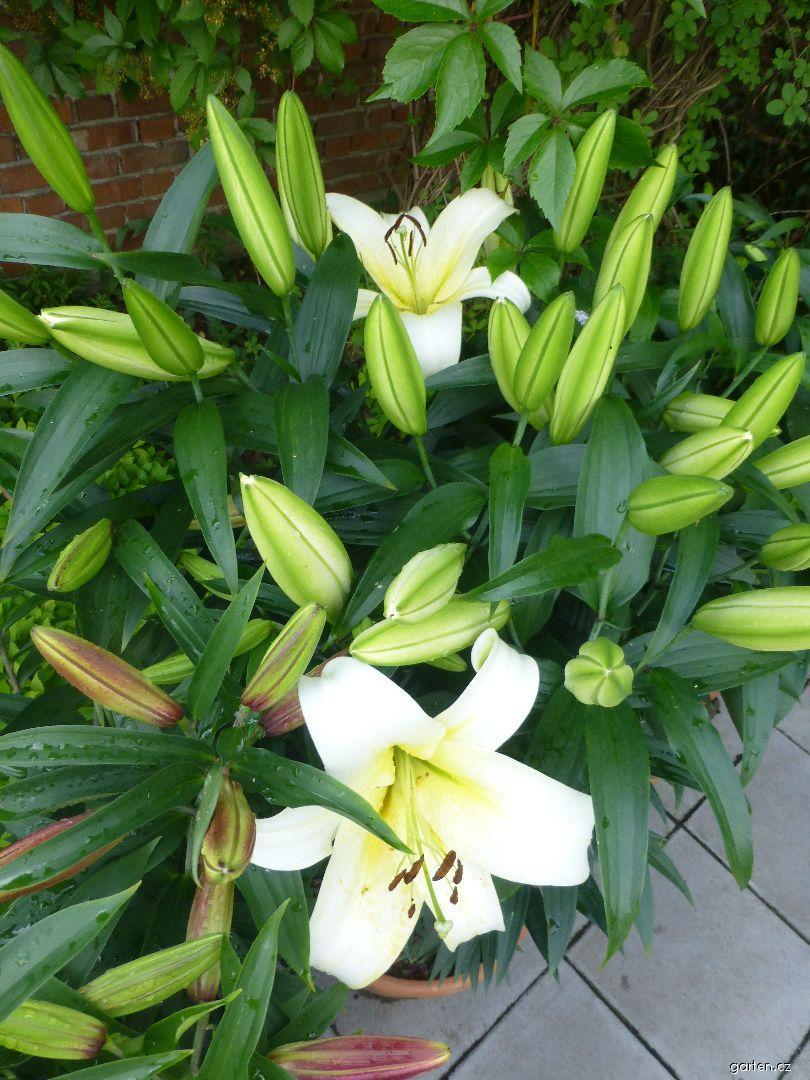 Lilie Luson (Lilium x hybridum)