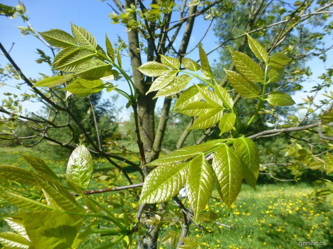 Jasan americký - větévka s květy (Fraxinus americana)