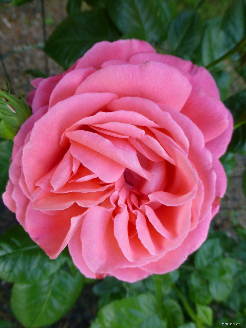 Růže Kore (Rosa)