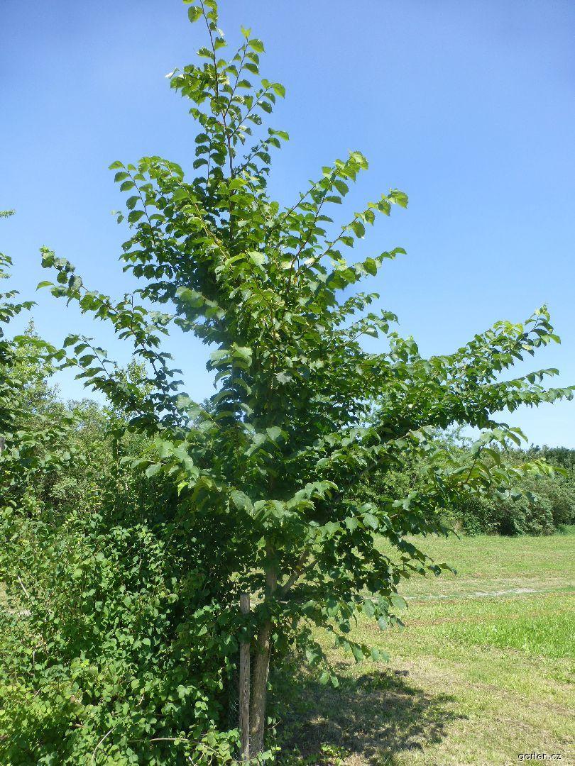 Jilm drsný - habitus (Ulmus glabra)