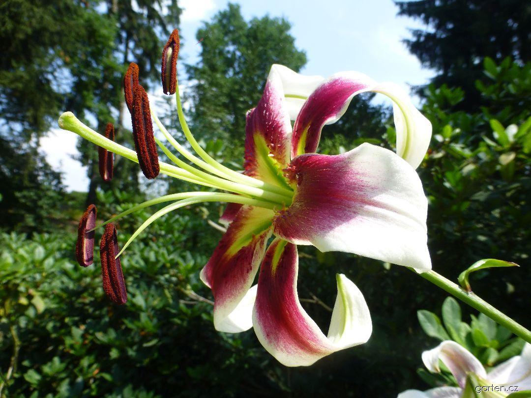 Lilie Scheherazade (Lilium x hybridum)