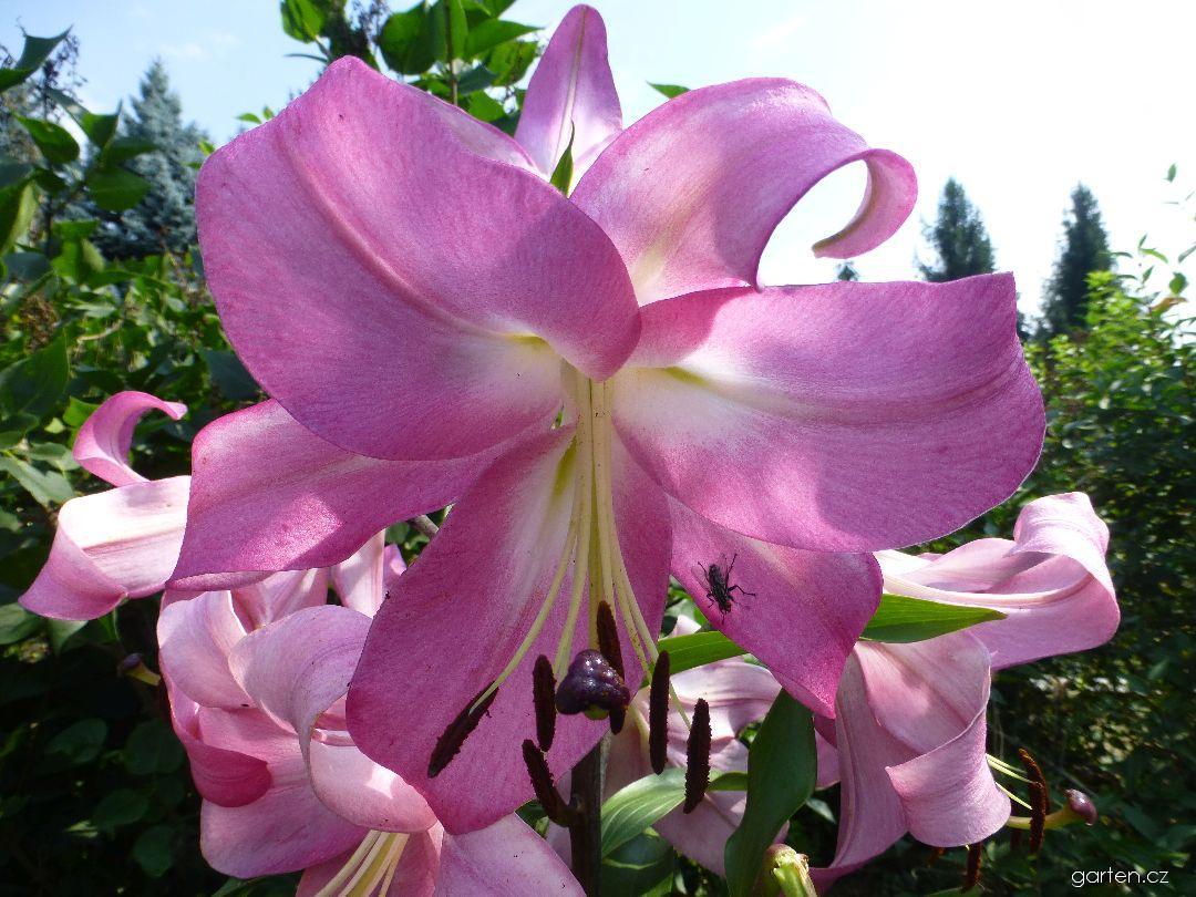 Lilie Robina (Lilium x hybridum)