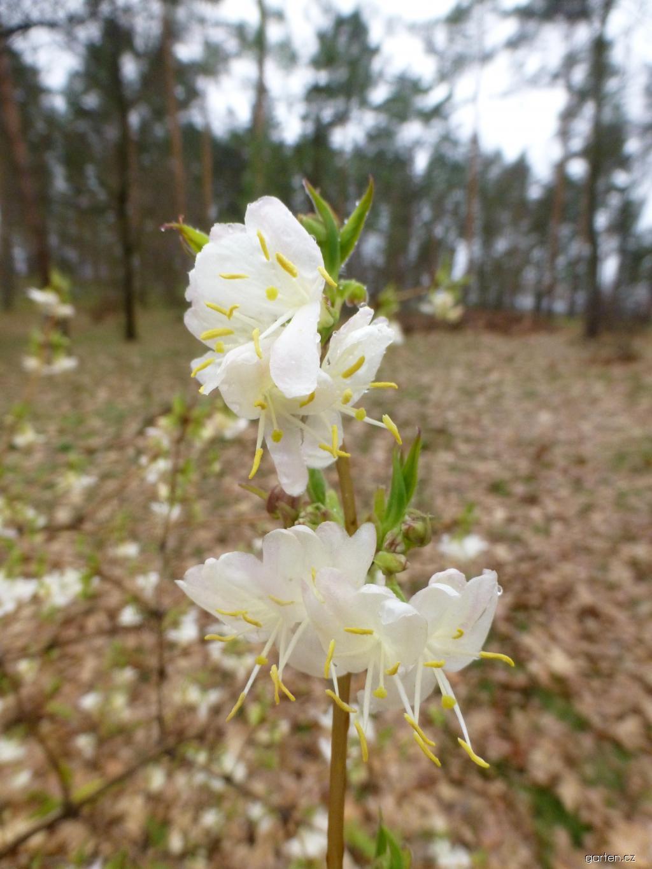 Zimolez vonný - větévka s květy (Lonicera fragrantissima)