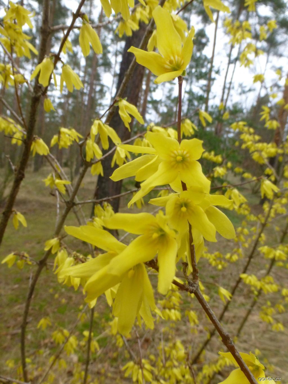 Zlatice zelená Robusta (Forsythia viridissima)
