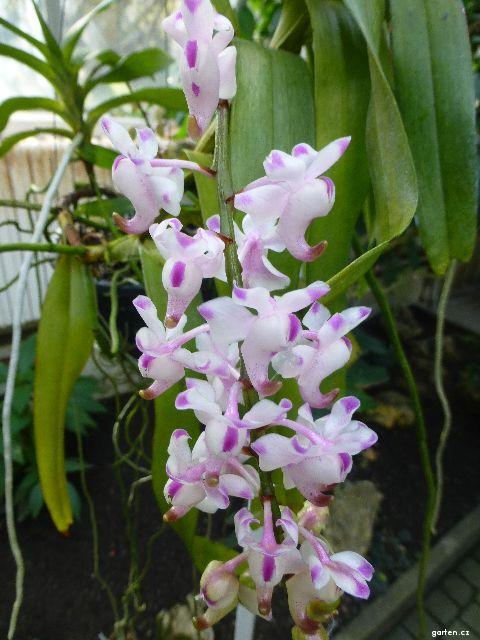 Aerides - květy (Aerides odorata)