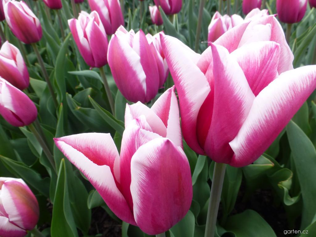 Tulipán Rybák (Tulipa x hybrida)