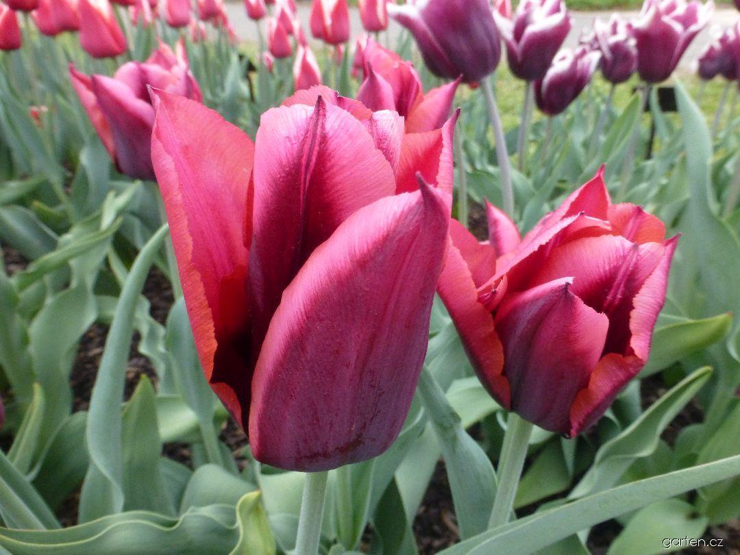 Tulipán Slawa (Tulipa x hybrida)
