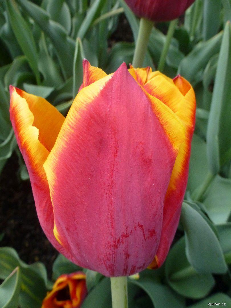 Tulipán Sluka (Tulipa x hybrida)