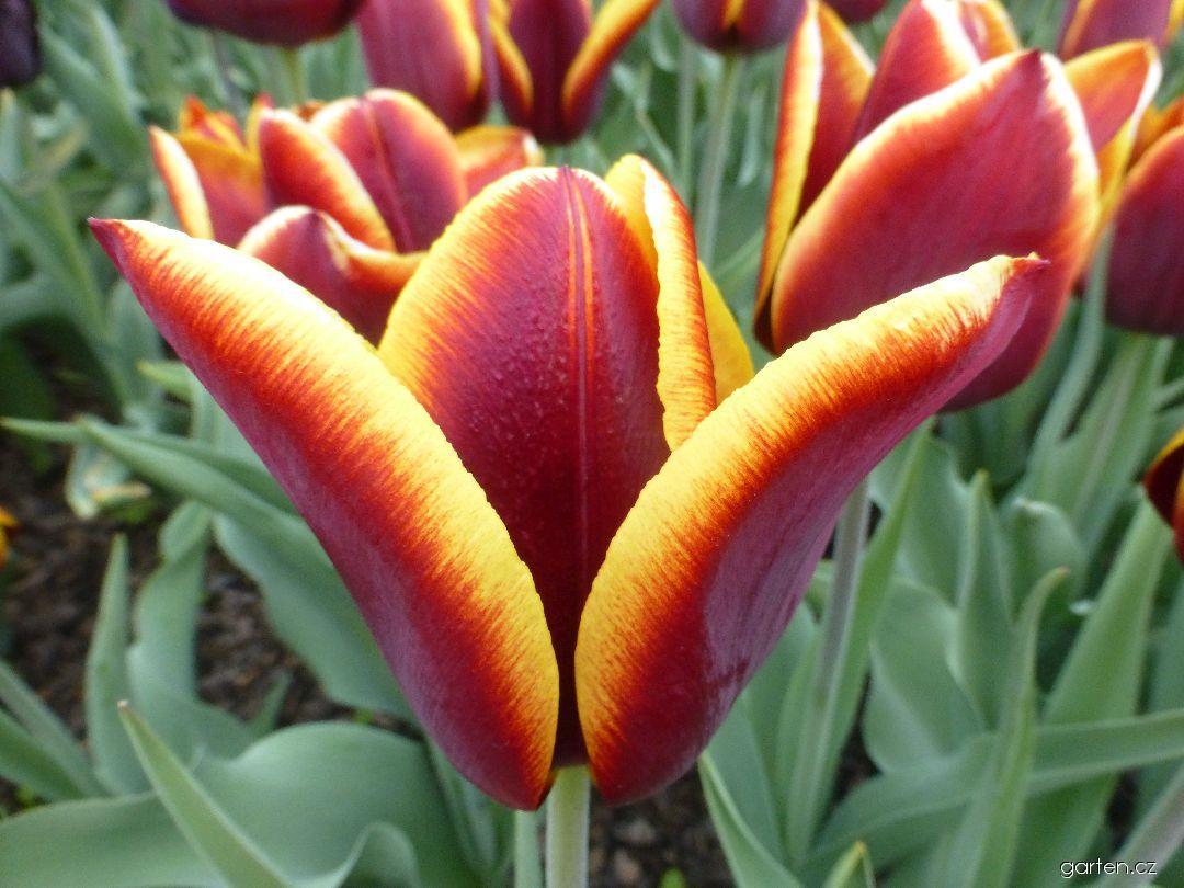 Tulipán Volavka (Tulipa x hybrida)