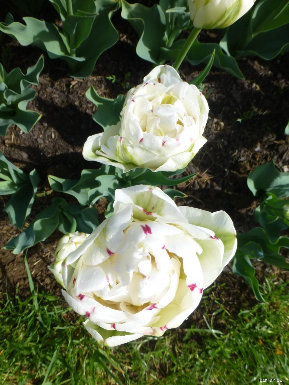 Tulipán Danceline (Tulipa x hybrida)