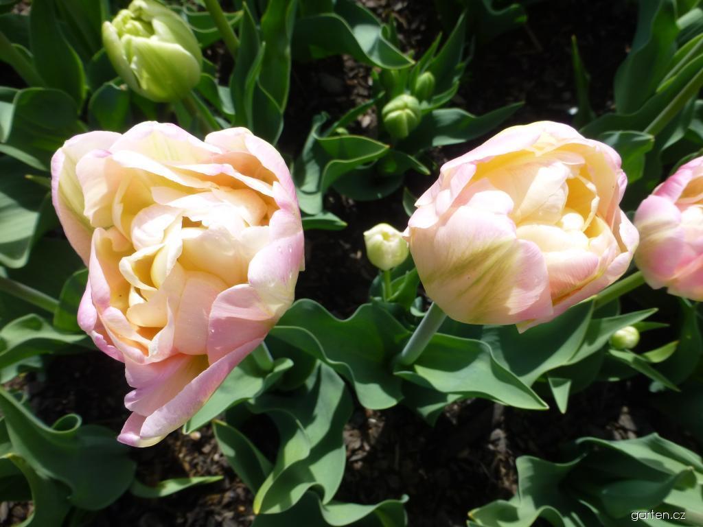 Tulipán Creme Upstar (Tulipa x hybrida)