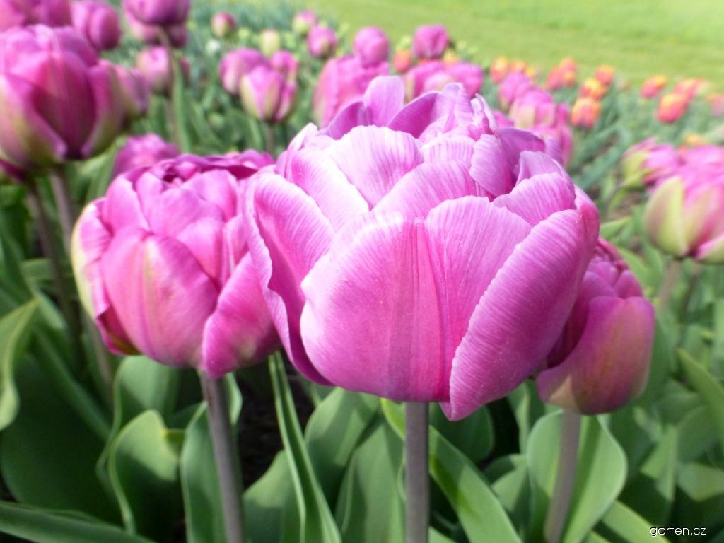 Tulipán Blue Diamond (Tulipa x hybrida)