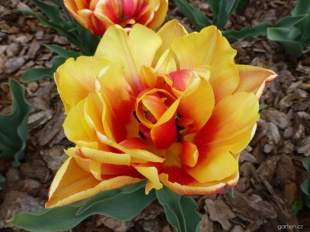 Tulipán Double Focus (Tulipa x hybrida)