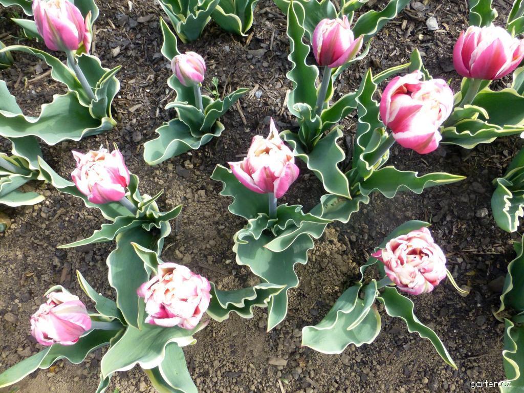 Tulipán Top Lips (Tulipa x hybrida)