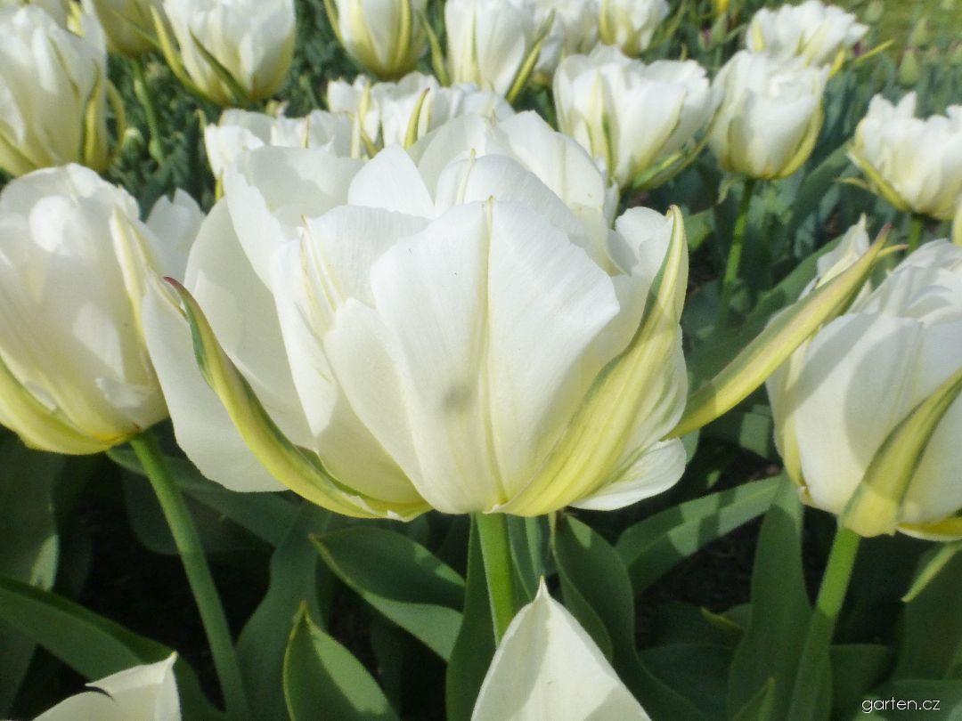 Tulipán Mount Tacoma (Tulipa x hybrida)