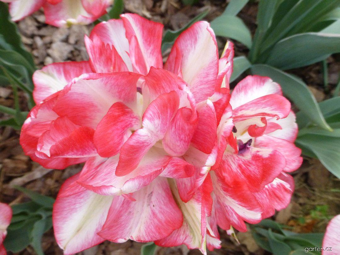 Tulipán Cartouche (Tulipa x hybrida)