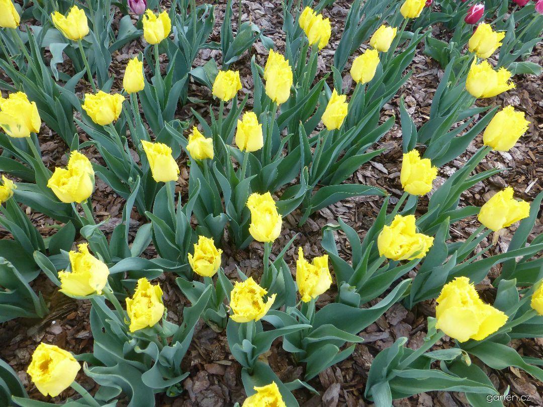 Tulipán Hamilton (Tulipa x hybrida)