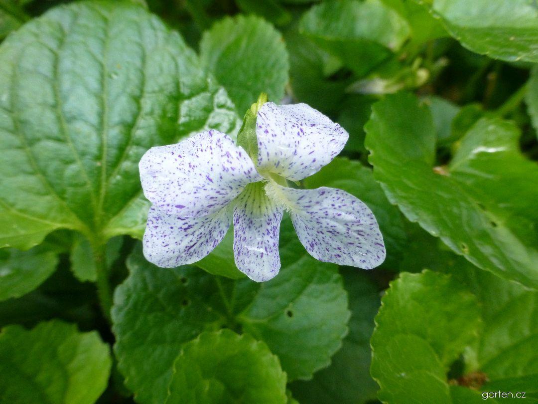Violka Freckles (Viola sororia)
