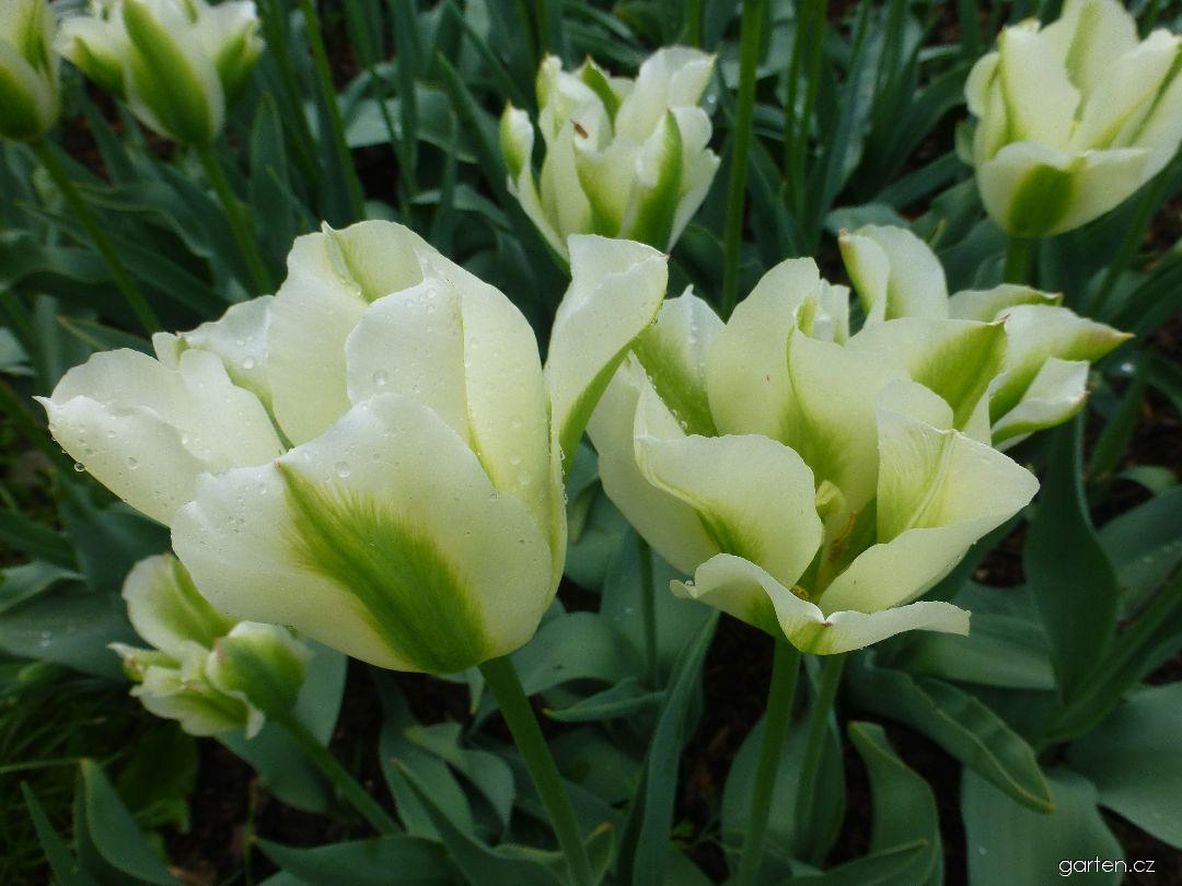 Tulipán Springgreen - Viridiflora tulipány (Tulipa x hybrida)
