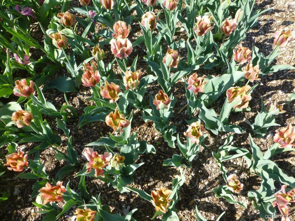 Tulipán Artist (Tulipa x hybrida)